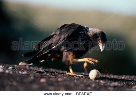 Striated caracara picking up egg, Phalcoboenus australis, Falkland Islands - Stock Photo