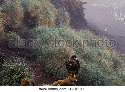 Striated caracara in mist, Phalcoboenus australis, Falkland Islands - Stock Photo