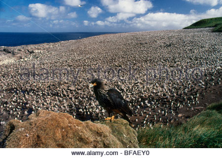 Striated caracara, Phalcoboenus australis, and nesting albatrosses, Thalassarche melanophris, Falkland Islands - Stock Photo