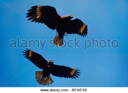 Striated caracaras in flight, Phalcoboenus australis, Falkland Islands - Stock Photo