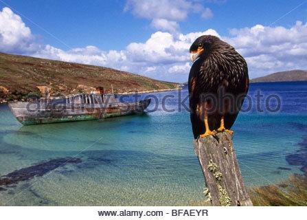 Striated caracara and shipwreck, Phalcoboenus australis, Falkland Islands - Stock Photo