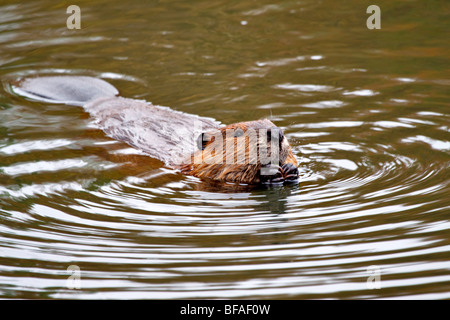 North American Beaver (Castor canadensis) - Stock Photo