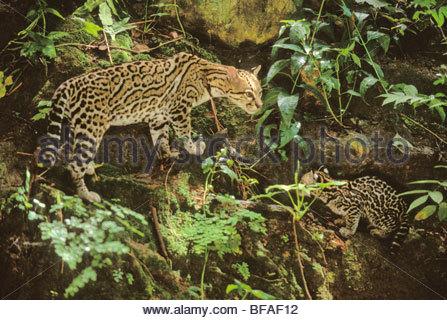 Ocelot and kitten in undergrowth, Leopardus pardalis, Chiapas, Mexico - Stock Photo
