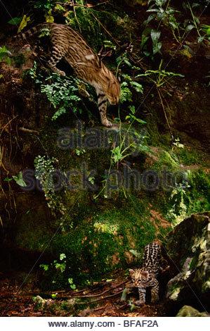 Ocelot and kitten, Leopardus pardalis, Chiapas, Mexico - Stock Photo