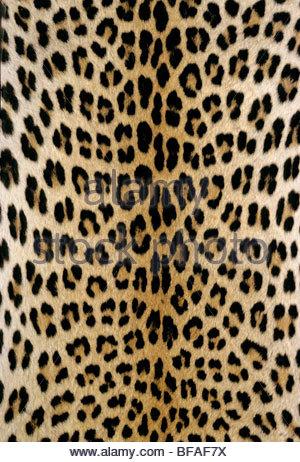 Leopard skin, Panthera pardus, Botswana - Stock Photo