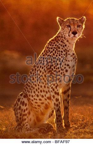 Cheetah, Acinonyx jubatus, Masai Mara Reserve, Kenya - Stock Photo