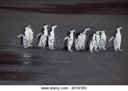 Chinstrap penguins on volcanic beach, Pygoscelis antarctica, Deception Island, Antarctica - Stock Photo