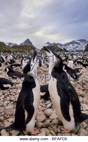 Chinstrap penguins courting, Pygoscelis antarctica, South Georgia Island - Stock Photo