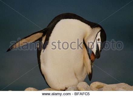 Chinstrap penguin, Pygoscelis antarcticus, South Georgia Island - Stock Photo