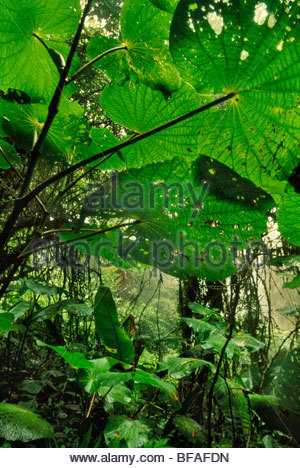 Cloud forest undergrowth, Monteverde Cloud Forest Preserve, Costa Rica - Stock Photo
