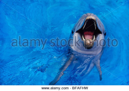 Bottlenosed dolphin calling, Tursiops truncatus, Native to warm and temperate oceans worldwide - Stock Photo