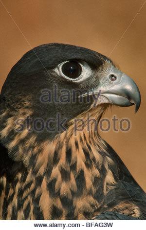 Peregrine falcon, Falco peregrinus, California - Stock Photo