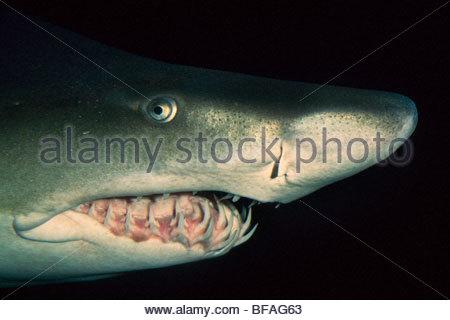Sand tiger shark, Carcharias taurus, Vancouver Aquarium, British Columbia, Canada - Stock Photo
