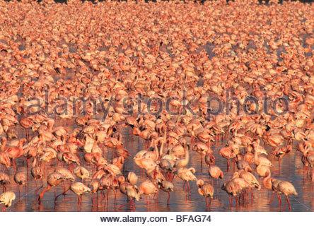 Lesser flamingos, Phoenicopterus minor, Lake Nakuru National Park, Kenya - Stock Photo