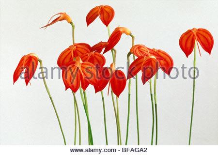 Orchid, Masdevallia ignea, Private Collection - Stock Photo