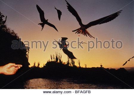 Magnificent frigate birds at dusk, Fregata magnificens, Galapagos Islands - Stock Photo
