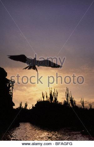 Magnificent frigate bird at sunset, Fregata magnificens, Galapagos Islands - Stock Photo