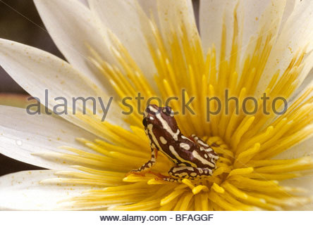 Reed frog, Hyperolius sp., in water lily, Okavango Delta, Botswana - Stock Photo