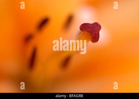 Lily, lilium, hybrid lily, stamen, pollen, orange, yellow - Stock Photo