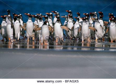 Gentoo penguins coming ashore, Pygoscelis papua, Falkland Islands - Stock Photo