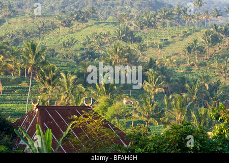 Tobacco fields on Lombok Island in Indonesia - Stock Photo