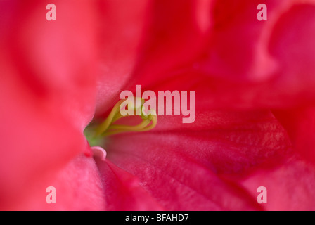 Azalea, pink azalea, magenta, stamen, close-up, close up, bright pink flower - Stock Photo