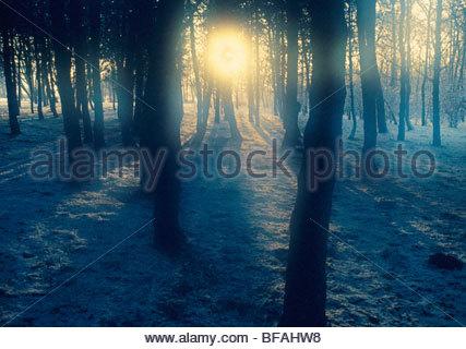 Midwinter sun shining through forest, Netherlands - Stock Photo