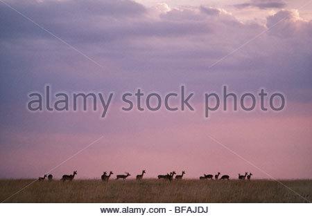 Impala herd, Aepyceros melampus, Masai Mara Reserve, Kenya - Stock Photo