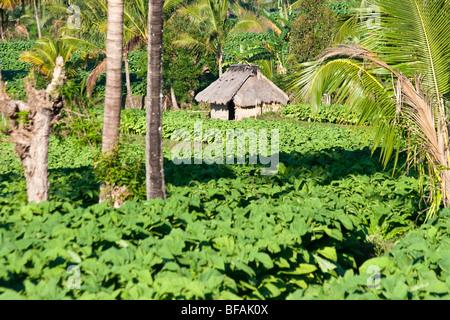 Tobacco fields in Nusa Tenggara on Lombok Island in Indonesia - Stock Photo