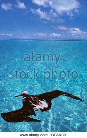 Laysan albatross juvenile waterlogged, Phoebastria immutabilis, Hawaiian Leeward Islands - Stock Photo