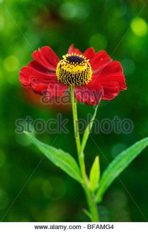 Helenium 'Rubinzwerg' - Stock Photo