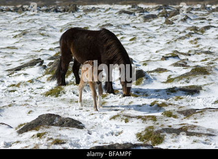 New born foal and mare in light snow on Dartmoor, Devon UK - Stock Photo