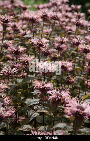 Pink Monarda fistulosa flowers - Stock Photo