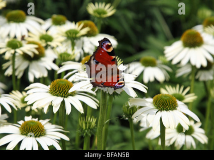 A Peacock (Inachis io) Butterfly on some daisies - Stock Photo