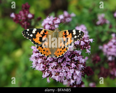 A Painted Lady (Vanessa cardui) Butterfly on a Marjoram (Origanum majorana, Lamiaceae) cold-sensitive perennial - Stock Photo