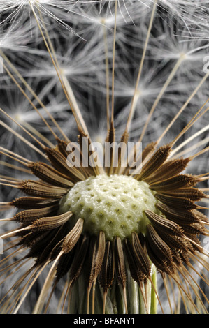 Dandelion clock, close up, showing how the seeds connect to the seed head. - Stock Photo