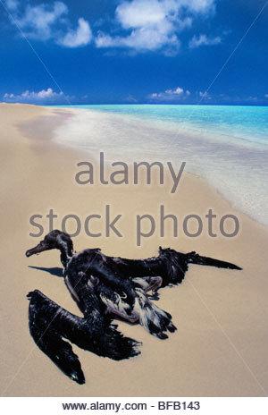 Waterlogged laysan albatross juvenile, Phoebastria immutabilis, Midway Atoll, Hawaiian Leeward Islands - Stock Photo