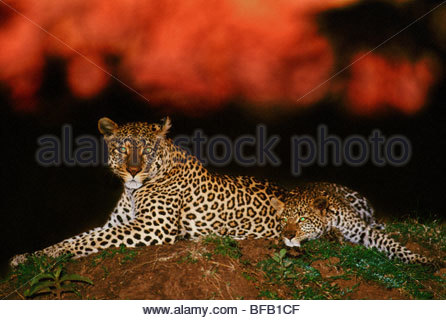 Leopard at dawn, Panthera pardus, Masai Mara Reserve, Kenya - Stock Photo