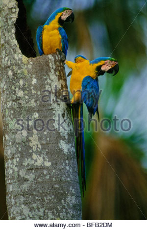 Blue-and-yellow macaws, Ara ararauna, on palm tree, Tambopata National Reserve, Peru - Stock Photo