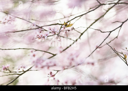 Almond, Prunus dulcis, Pink flower blossom on the branches of a tree. - Stock Photo