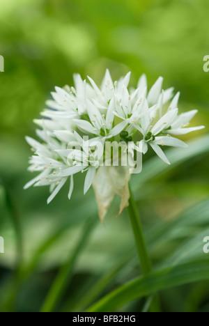 Allium ursinum, Wild garlic, Ramsons - Stock Photo