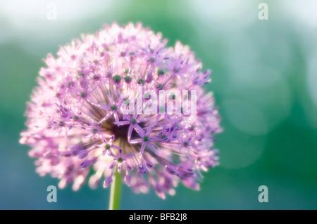 Giant allium, Allium giganteum, Purple spherical flower of ornamental onion.