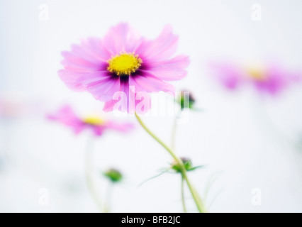 Cosmos bipinnatus, Cosmos flower pink - Stock Photo