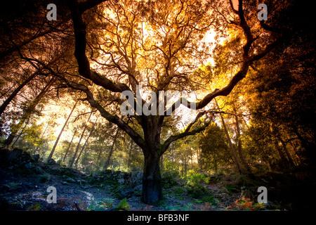 Looming tree in a woodland near Lluc monastery, Mallorca - Stock Photo