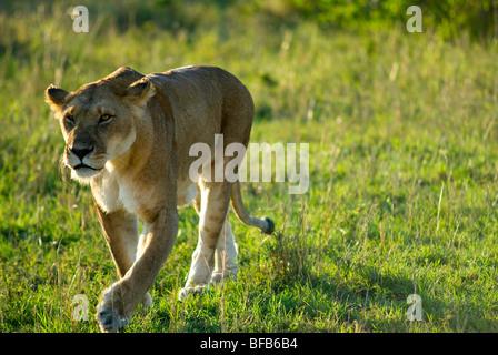 lioness walking in masai mara reserve - Stock Photo