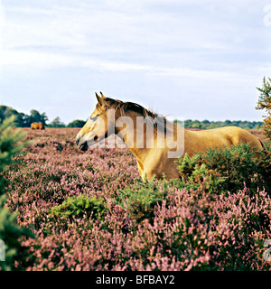 new forest pony standing in heather in the forest - Stock Photo