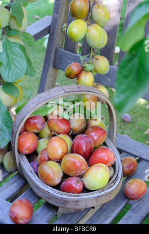 Garden soft fruit, Victoria Plums, ripe fruit in wooden trug on garden chair under tree, Uk, August - Stock Photo