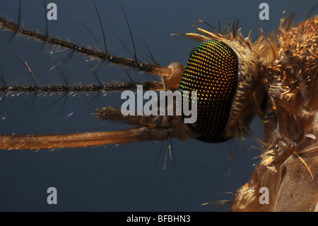 The head of a mosquito, culex pipiens taken through a microscope - Stock Photo