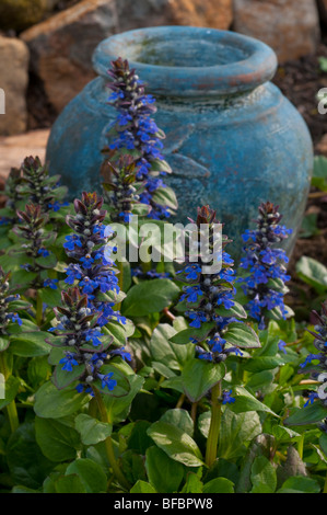 Bugle flower, ajuga reptans in blossom with the colour accented by a blue pot - Stock Photo