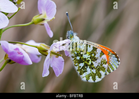 Orange-tip butterfly, Anthocharis cardamines on Lady's Smock - Stock Photo